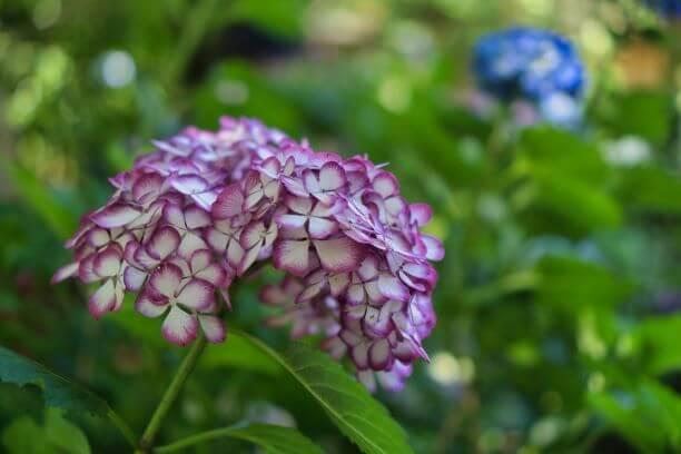 明月院 紫陽花2